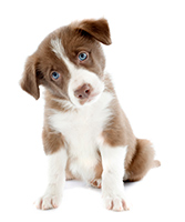 Should I give a puppy as a gift?