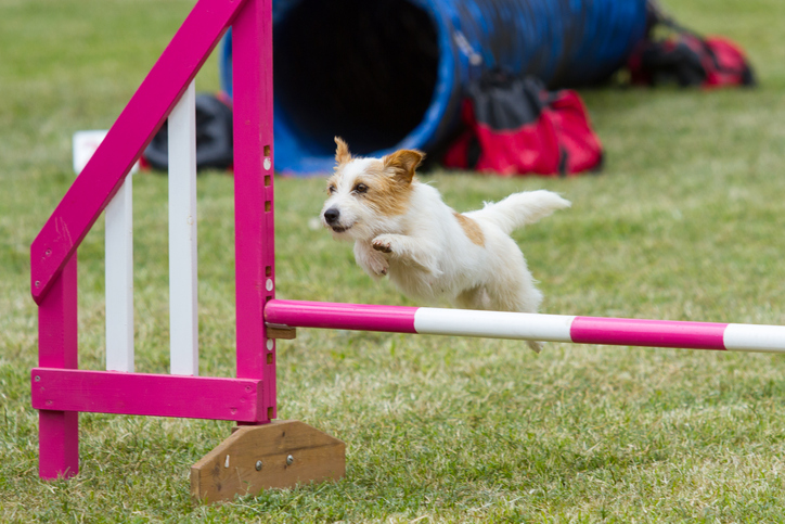 Backyard Fun: How to Create Your Own Dog Agility Course ...