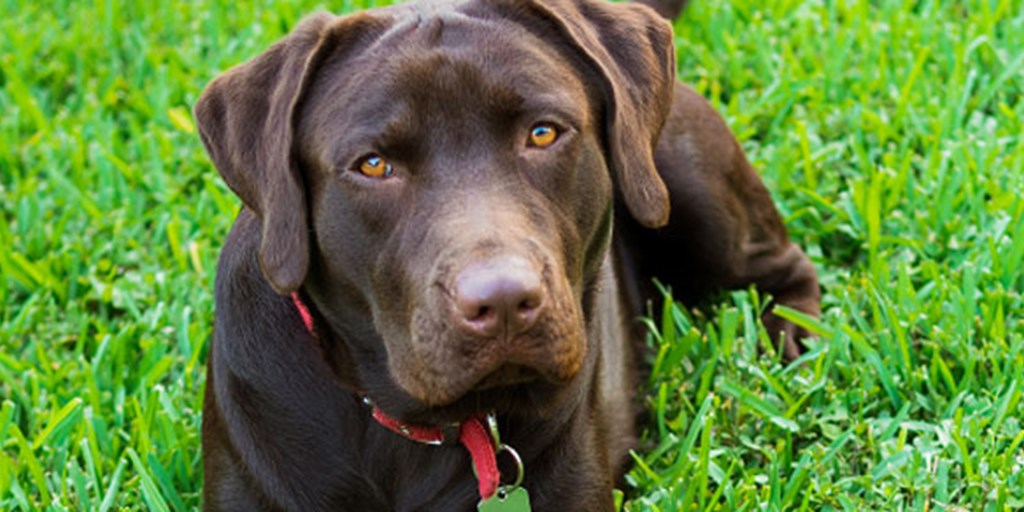 Breed History Where Did Labrador Retrievers Come From The Dog Blog