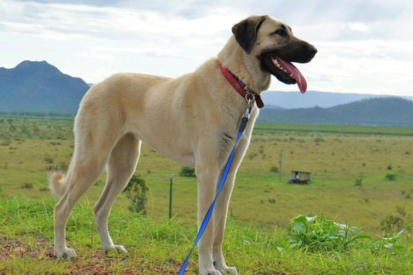 Anatolian Shepherd Dog Bil Jac
