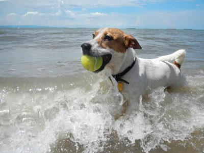 Dog playing with tennis ball and swimming in lake
