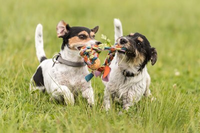 Two dogs playing tug of war in field